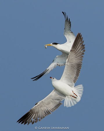 Brown-headed Gull (Larus brunnicephalus) Chasing a Greater Crested Tern