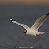Brown-headed Gull (Larus brunnicephalus) - Breeding