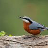 Chestnut-bellied Nuthatch (Sitta cinnamoventris) - Male