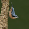 Chestnut-bellied Nuthatch (Sitta cinnamoventris) - Female