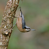 Chestnut-bellied Nuthatch (Sitta cinnamoventris)
