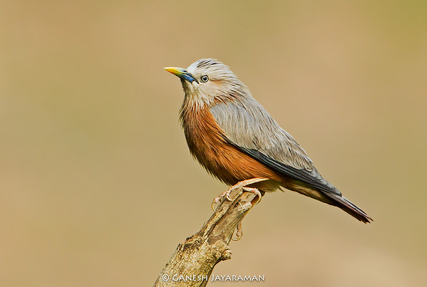 Chestnut-tailed Starling (Sturnia malabarica)