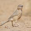 Common Babbler (Argya caudata)