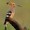 Common Hoopoe (Upupa epops)