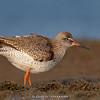 Common Redshank (Tringa totanus)  - Breeding