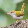 Common Tailorbird (Orthotomus sutorius)