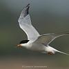 Common Tern (Sterna hirundo) - Breeding
