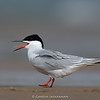 Common Tern (Sterna hirundo) - Breeding