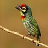 Coppersmith Barbet (Psilopogon haemacephalus)