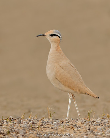 Cream-coloured Courser (Cursorius cursor)