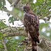 Crested Hawk-Eagle (Nisaetus cirrhatus ceylanensis)