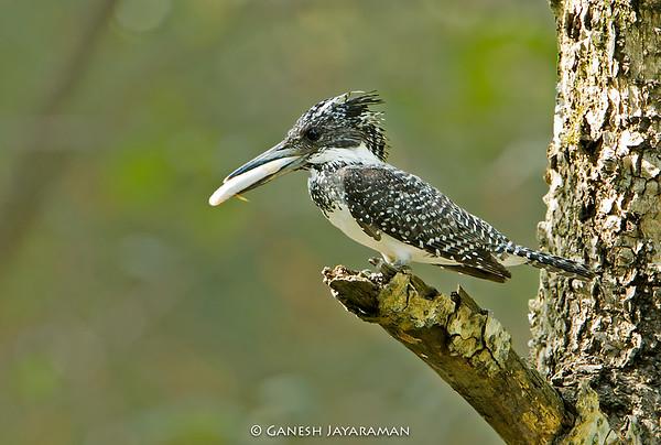 Crested Kingfisher (Megaceryle lugubris)