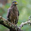 Crested Serpent-eagle (Spilornis cheela)