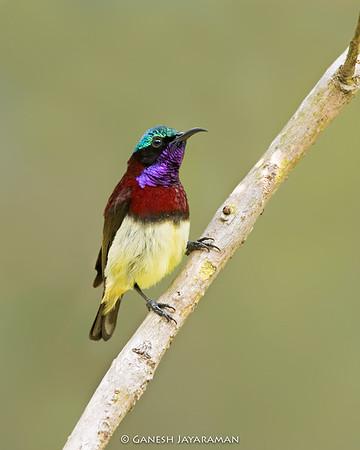 Crimson-backed Sunbird (Small Sunbird)