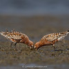 Curlew Sandpiper (Calidris ferruginea)  - Breeding  - Breeding