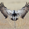 Demoiselle Crane (Anthropoides virgo)