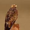 Eastern Imperial Eagle (Aquila heliaca) - Sub Adult