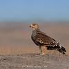 Eastern Imperial Eagle (Aquila heliaca) - Juvenile
