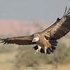 Eurasian Griffon Vulture (Gyps fulvus)