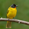 Flame-throated Bulbul (Pycnonotus gularis)