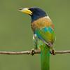 Great Barbet (Psilopogon virens)