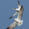 Greater Crested Tern (Thalasseus bergii) chased by a Brown Headed Gull