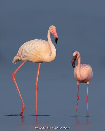 Greater Flamingo (Phoenicopterus roseus) with Lesser Flamingo