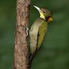 Greater Yellownape Woodpecker (Chrysophlegma flavinucha)