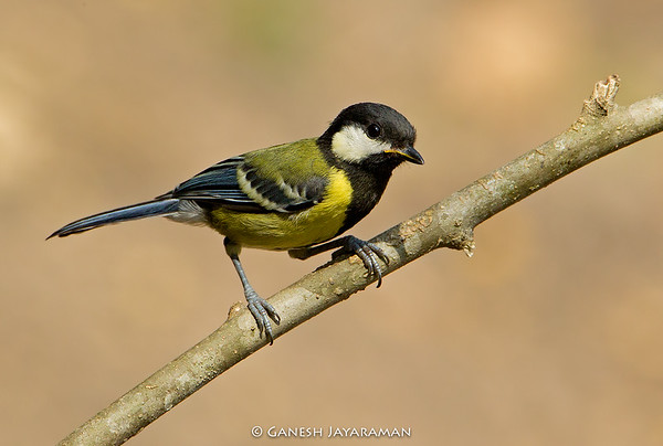 Green-backed Tit (Parus monticolus)