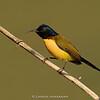 Green-tailed Sunbird (Aethopyga nipalensis)