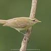 Greenish Warbler (Phylloscopus trochiloides)