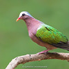 Grey-capped Emerald Dove (Chalcophaps indica)