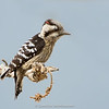Grey-capped Pygmy Woodpecker (Dendrocopos canicapillus)