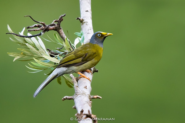 Grey-headed Bulbul (Brachypodius priocephalus)