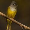 Grey-headed Canary-flycatcher (Culicicapa ceylonensis)