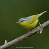 Grey-hooded Warbler (Phylloscopus xanthoschistos)