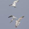 Gull-billed Terns (Gelochelidon nilotica)