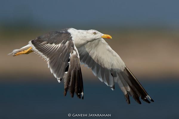 Heuglin's Gull (Larus fuscus heuglini)