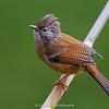 Hoary-throated Barwing (Sibia nipalensis)