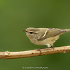 Hume's Leaf-warbler (Phylloscopus humei)