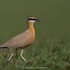 Indian Courser (Cursorius coromandelicus)