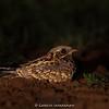 Indian Nightjar (Caprimulgus asiaticus)