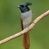 Indian Paradise-flycatcher (Terpsiphone paradisi)