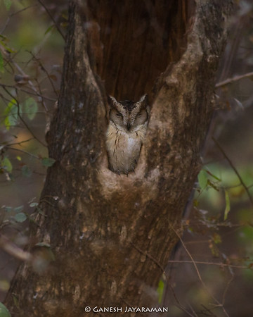Indian Scops Owl (Otus bakkamoena)