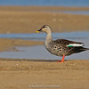 Indian Spot-billed Duck (Anas poecilorhyncha)