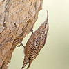 Indian Spotted Creeper (Salpornis spilonota)