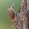 Indian Spotted Creeper (Salpornis spilonota)