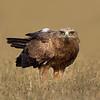Indian Spotted Eagle (Clanga hastata)