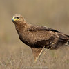 Indian Spotted Eagle (Clanga hastata)