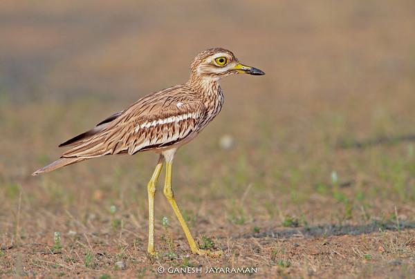 Indian Thick-knee (Burhinus indicus)